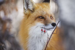 Κόκκινη αλεπού Στοκ φωτογραφία με δικαίωμα ελεύθερης χρήσης