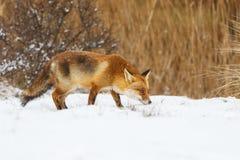 Κόκκινη αλεπού Στοκ Εικόνα