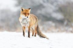 Κόκκινη αλεπού Στοκ φωτογραφίες με δικαίωμα ελεύθερης χρήσης