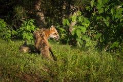 Κόκκινη αλεπού Vixen Vulpes vulpes με την εξάρτηση πίσω από την Στοκ εικόνες με δικαίωμα ελεύθερης χρήσης