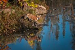 Κόκκινη αλεπού Vulpes vulpes με την αντανάκλαση Στοκ Φωτογραφία
