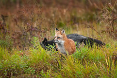 Κόκκινη αλεπού Vulpes vulpes με την ασημένια αλεπού που διασχίζει πίσω Στοκ Εικόνα