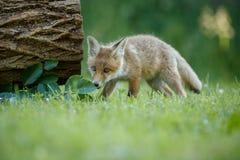 Κόκκινη αλεπού, Vulpes vulpes, στο ευρωπαϊκό δάσος Στοκ Φωτογραφία