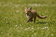 Κόκκινη αλεπού, Vulpes vulpes, στο ευρωπαϊκό δάσος Στοκ φωτογραφία με δικαίωμα ελεύθερης χρήσης