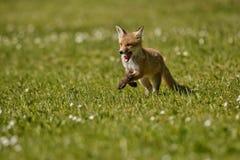Κόκκινη αλεπού, Vulpes vulpes, στο ευρωπαϊκό δάσος Στοκ φωτογραφίες με δικαίωμα ελεύθερης χρήσης