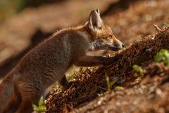 Κόκκινη αλεπού, Vulpes vulpes, στο ευρωπαϊκό δάσος Στοκ εικόνα με δικαίωμα ελεύθερης χρήσης