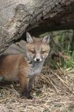 Κόκκινη αλεπού, Vulpes vulpes Στοκ φωτογραφία με δικαίωμα ελεύθερης χρήσης