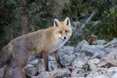 Κόκκινη αλεπού (Vulpes vulpes) Στοκ Φωτογραφία