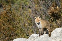 Κόκκινη αλεπού (Vulpes vulpes) Στοκ Εικόνες