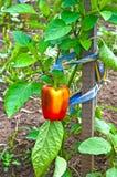 Κόκκινη, βουλγαρική ανάπτυξη πιπεριών στον κήπο Ρωσία Σιβηρία στοκ εικόνες