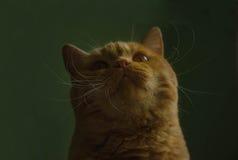 Κόκκινη βρετανική γάτα που ανατρέχει σε ένα πράσινο υπόβαθρο Στοκ φωτογραφίες με δικαίωμα ελεύθερης χρήσης