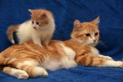 Κόκκινη γάτα με ένα γατάκι στοκ εικόνες με δικαίωμα ελεύθερης χρήσης
