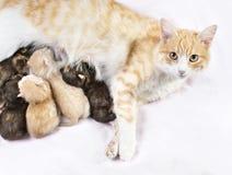 Κόκκινη γάτα με τα γατάκια Στοκ εικόνες με δικαίωμα ελεύθερης χρήσης