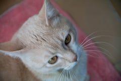 Κόκκινη γάτα που βλέπει κοντά επάνω Στοκ Εικόνα