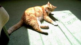 Κόκκινη γάτα που βρίσκεται στον πράσινο τάπητα και ξαφνικά εκφοβισμένος και άλματα επάνω απόθεμα βίντεο