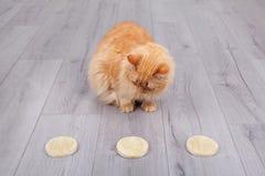 Κόκκινη γάτα που επιλέγει το ξηρό εκχύλισμα ζύμης από petri το φλυτζάνι Στοκ Φωτογραφία