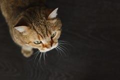 Κόκκινη γάτα που κοιτάζει επάνω στο κάθισμα στο μαύρο υπόβαθρο Στοκ εικόνες με δικαίωμα ελεύθερης χρήσης