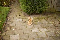 Κόκκινη γάτα σε μια αλέα στο Άμστερνταμ Στοκ Εικόνα