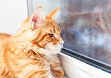 Κόκκινη γάτα του Μαίην Coon που κοιτάζει από το παράθυρο Στοκ φωτογραφίες με δικαίωμα ελεύθερης χρήσης