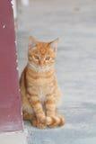Κόκκινη γάτα Στοκ Εικόνες