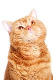 Κόκκινη γάτα Στοκ εικόνες με δικαίωμα ελεύθερης χρήσης