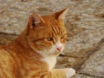 Κόκκινη γάτα Στοκ Εικόνα
