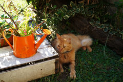 Κόκκινη γάτα Στοκ εικόνα με δικαίωμα ελεύθερης χρήσης