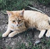 Κόκκινη γάτα στοκ φωτογραφίες με δικαίωμα ελεύθερης χρήσης
