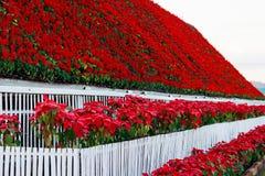 Κόκκινη διακόσμηση εγκαταστάσεων poinsettia flowes στον κήπο στοκ εικόνες