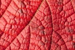 κόκκινη δομή φύλλων Στοκ Εικόνες