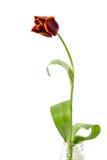 κόκκινη ενιαία τουλίπα Στοκ φωτογραφία με δικαίωμα ελεύθερης χρήσης