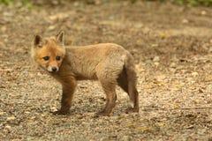 Κόκκινη εξάρτηση αλεπούδων Στοκ εικόνες με δικαίωμα ελεύθερης χρήσης