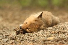 Κόκκινη εξάρτηση αλεπούδων Στοκ Εικόνες