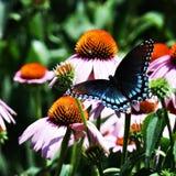 Κόκκινη επισημασμένη πορφυρή πεταλούδα σε πορφυρό Coneflowers στοκ εικόνα