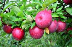 Κόκκινη ελεύθερη κινηματογράφηση σε πρώτο πλάνο μήλων Στοκ Φωτογραφίες