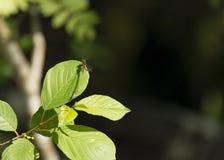 Κόκκινη λιβελλούλη στο πράσινο φύλλο Στοκ Εικόνα