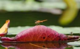 Κόκκινη λιβελλούλη Στοκ Φωτογραφίες