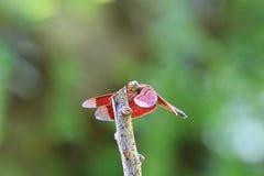 Κόκκινη λιβελλούλη Στοκ Εικόνες
