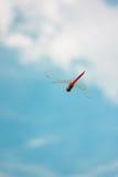 Κόκκινη λιβελλούλη Στοκ εικόνα με δικαίωμα ελεύθερης χρήσης