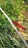 Κόκκινη λιβελλούλη Στοκ Εικόνα
