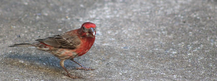 Κόκκινη διευθυνμένη Finch w/seed εικόνα λ-πλευράς Στοκ Φωτογραφία
