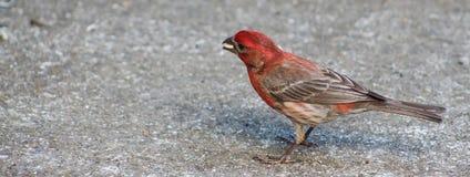 Κόκκινη διευθυνμένη Finch w/seed εικόνα ρ-πλευράς Στοκ Φωτογραφίες