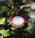 Κόκκινη και άσπρη άνθιση protea Στοκ Εικόνες