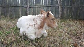Κόκκινη και άσπρη αγελάδα παιδιών μόσχων Στοκ φωτογραφία με δικαίωμα ελεύθερης χρήσης