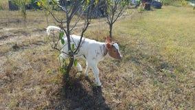 Κόκκινη και άσπρη αγελάδα παιδιών μόσχων Στοκ εικόνες με δικαίωμα ελεύθερης χρήσης