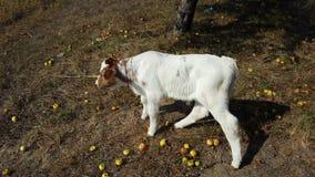Κόκκινη και άσπρη αγελάδα παιδιών μόσχων Στοκ Φωτογραφίες