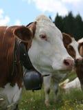 Κόκκινη και άσπρη βοσκή αγελάδων στο λιβάδι Στοκ φωτογραφία με δικαίωμα ελεύθερης χρήσης