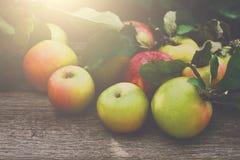 Κόκκινη και κίτρινη συγκομιδή μήλων στον κήπο πτώσης Στοκ φωτογραφία με δικαίωμα ελεύθερης χρήσης