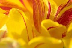 Κόκκινη και κίτρινη φλόγα πετάλων τουλιπών Στοκ εικόνα με δικαίωμα ελεύθερης χρήσης