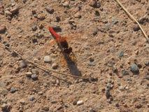Κόκκινη και μαύρη λιβελλούλη, στο Ivars ι Vilasana στοκ φωτογραφία